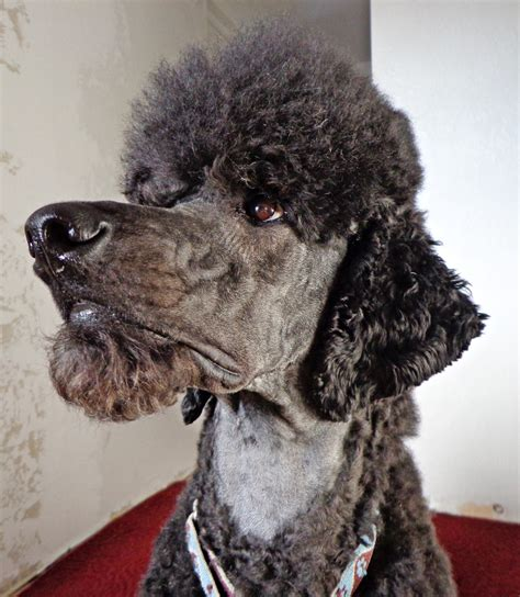 beard clip poodle standard poodles with beards love a moustache on a