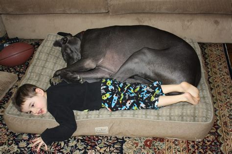great dane dog bed let s share great danes love llbean dog beds photo via
