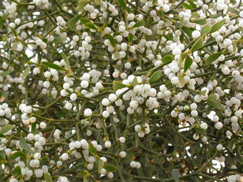 barwon blog under the mistletoe