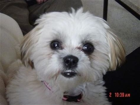 shih tzu vs maltese mal shi breed information and pictures