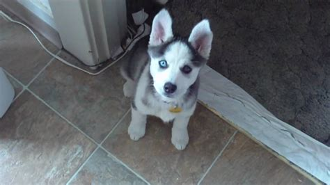 talking husky puppy husky puppy talking saying quot i you quot
