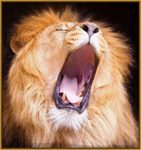 imagenes de los leones del caracas imagenes de fondo graciosas de los leones del caracas