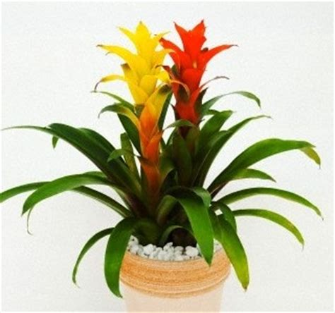 good house plants guzmania good house plant green thumb house plants