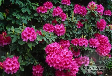 buy rhododendron plants from burncoose nurseries page 1