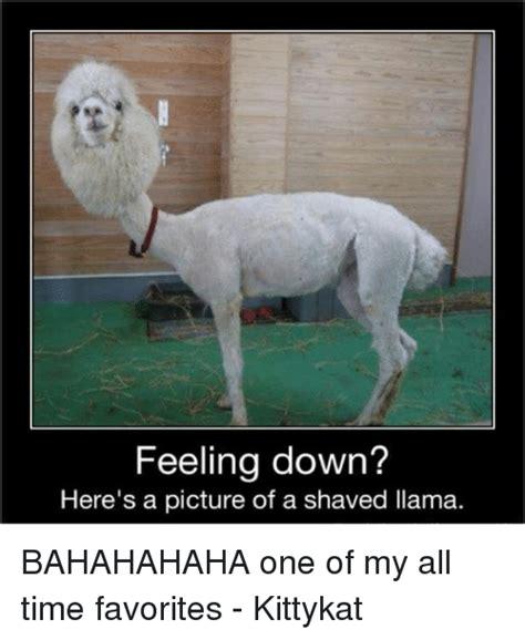 Shaved Llama Meme - 25 best memes about shaved llama shaved llama memes