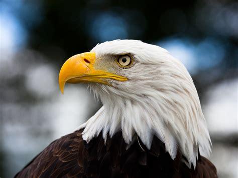 imagenes de agilas blancas american eagle day days of the year