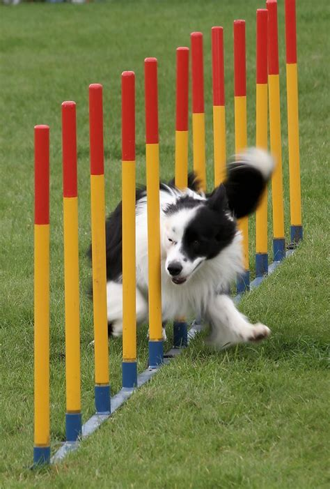 how to start agility for dogs how to get started in agility wagbrag