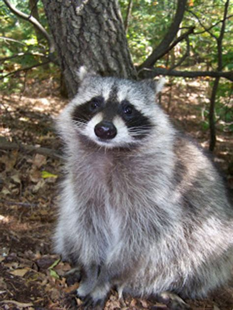 what color are raccoons the laughing raccoon raccoons of a different color