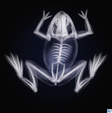 printable animal x ray pictures frog x ray picture by nasirkhan for x rays photoshop