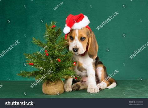 beagle puppy with christmas tree on green background stock