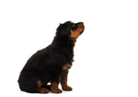 why does my rottweiler sit on me potty trained for but not everyday common sense parenting for toddlers and
