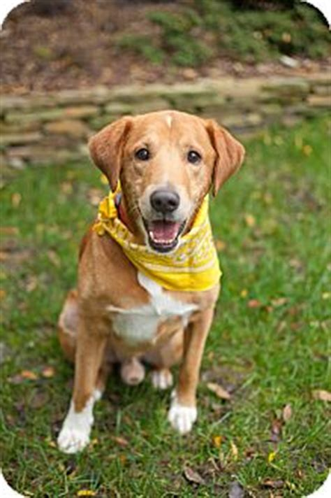 golden retriever rescue raleigh barney adopted raleigh nc golden retriever labrador retriever mix