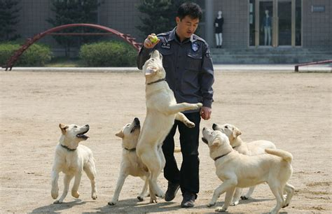 how sniffer dogs are trained cloned sniffer dogs begin in korea zimbio
