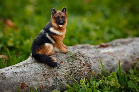 miniature german shepherd puppies for sale miniature german shepherds for sale are a compact choice