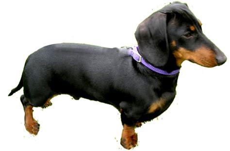 dachshund puppies rescue dachshund puppies for adoption bazar