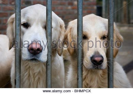 golden retriever bar two golden retrievers stock photo royalty free image 26161346 alamy