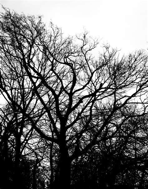 white branch tree free black and white tree branch plant nature texture