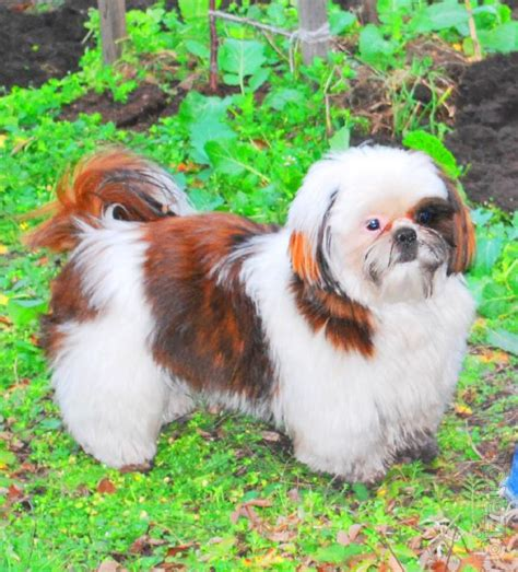 shih tzu clubs club puppies shih tzu buy on www bizator