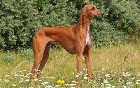 azawakh puppies azawakh breed information