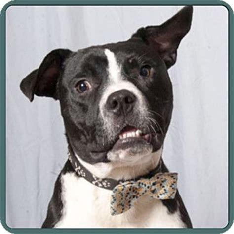 boxer boston terrier mix puppies nashville tn boxer boston terrier mix meet jackson a puppy for adoption
