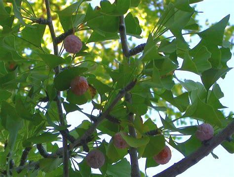 ginkgo biloba pohon gambar informasi lengkap mengenai
