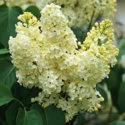 White Lilac Flowers - syringa vulgaris primrose lilac dobbies garden centres
