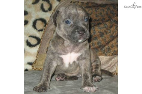 pitbull puppies for sale in arkansas american pit bull terrier for sale for 900 near rock arkansas b48319e6 71c1