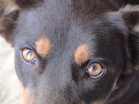 puppy eye color nose and eye coloration