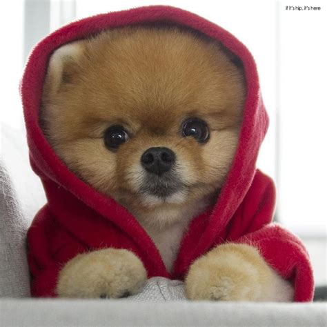 what type of is jiffpom find pomeranian dogs puppies for sale adoption pets world