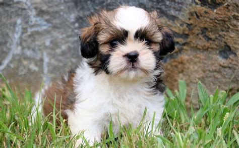 vitamins for shih tzu puppy shih tzus with skin allergies food facts