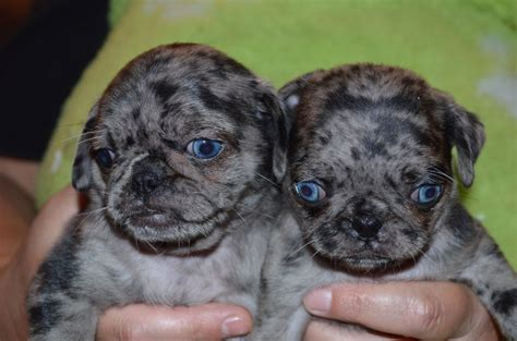 blue pugs stunning blue merle pug puppies for sale