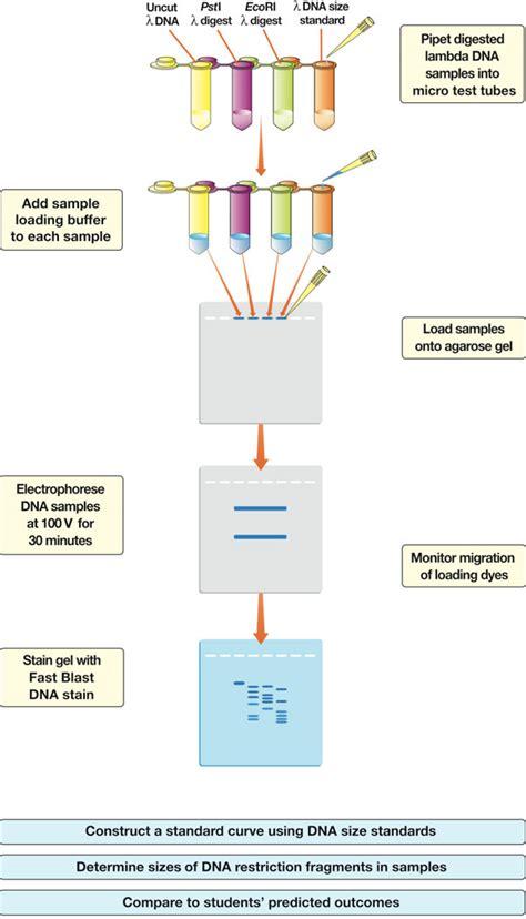 Rna Power 2 5g analysis of precut lambda dna kit science education