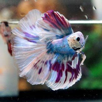 bettas lifespan discover the top 5 things that affect it