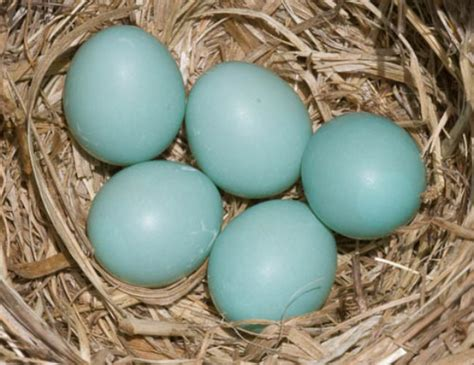 bluebird eggs color biologists solve mystery of blue green bird eggs biology