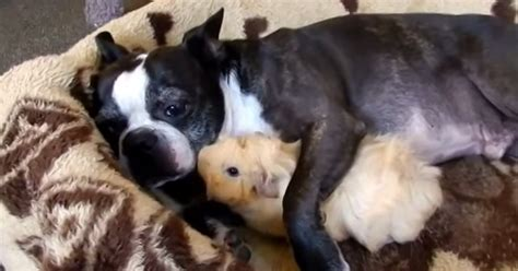 guinea pigs and dogs boston terrier and guinea pig snuggle dogtime