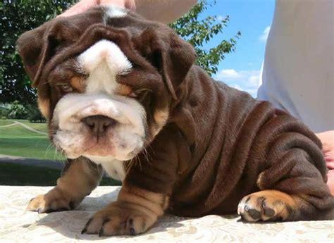 brown bulldog puppies shrinkabulls chocolate bulldog puppies