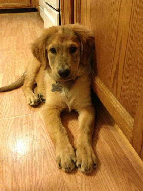 mastiff golden retriever mix 17 best images about in a world every would a home and every home
