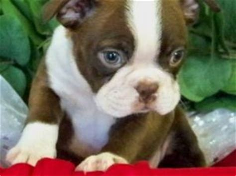 miniature boston terrier puppies for sale boston terrier puppies for sale