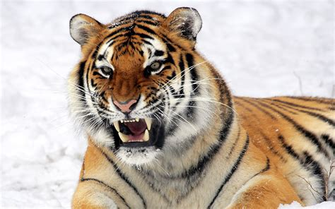 of tiger tiger predator wallpapers wallpapers hd