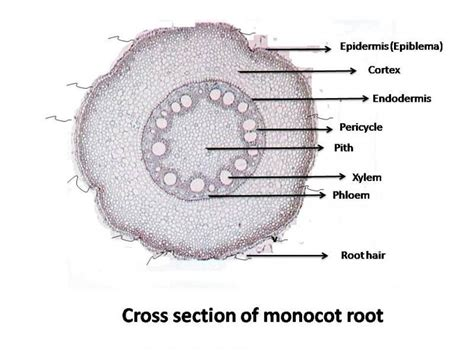monocot leaf cross section labeled lab 4 root structure biology 3000 with rashotte at