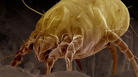 dust mites in bed why you should never make your bed