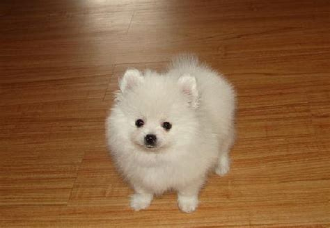 white pomeranian pictures puppy dogs white pomeranian puppies