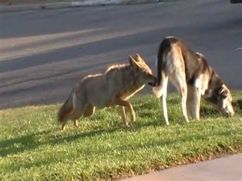 do coyotes eat dogs fox chickens images
