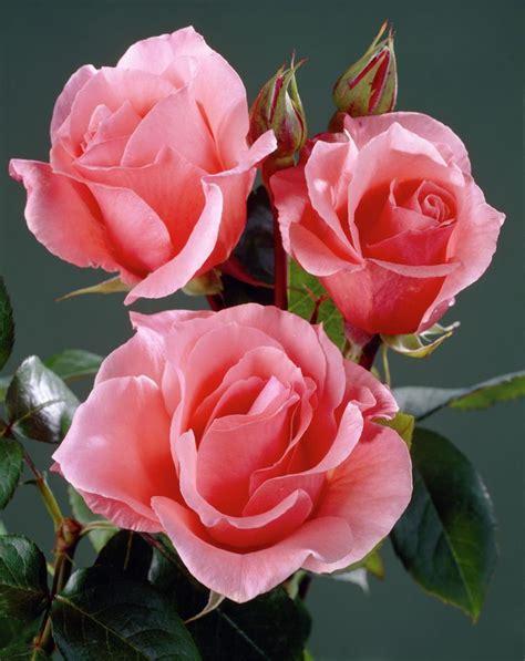 imagenes de rosas turquesas caracteristicas de las rosas las flores m 225 s vendidas en el