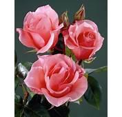 Caracteristicas De Las Rosas Flores M&225s Vendidas En El