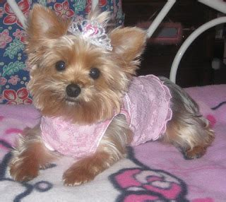 yorkie hairstyles yorkie haircut exles pictures of yorkie poo haircuts image search results dog