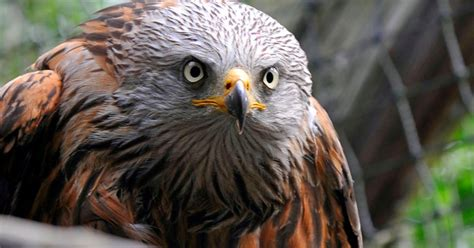 red kites in surrey where you have seen the threatened