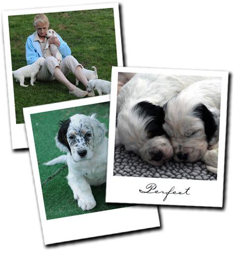 setter puppies mn setter puppies in minnesota aerden setters