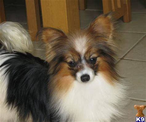papillon puppy price papillon8509 puppies for sale