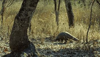 pangolin gifs find share  giphy